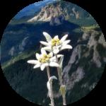 Hedelweiss